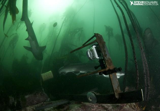 Sevengill sharks come to investigate the BRUV