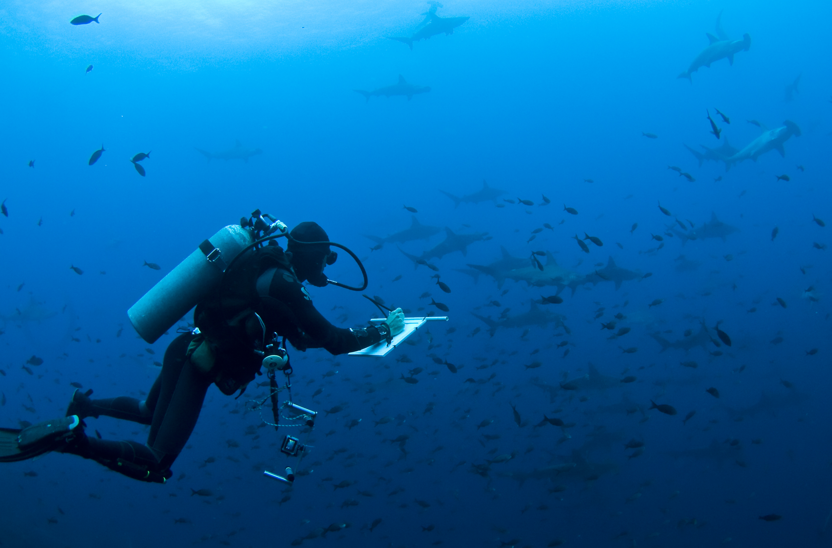 In the past, researchers have conducted shark cencus with dive teams. Now they will use underwater video systems. Photo by Pelayo Salinas| © Charles Darwin Foundation