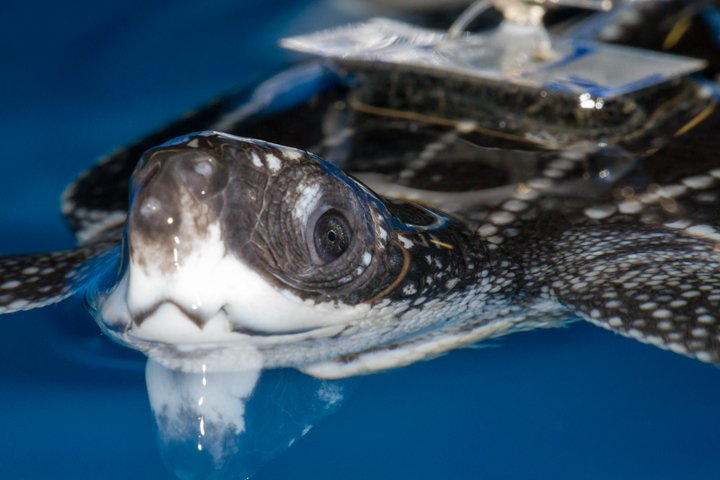 The face of a neonate leatherback sea turtle. Photo by J Abernethy | © Save Our Seas Foundation