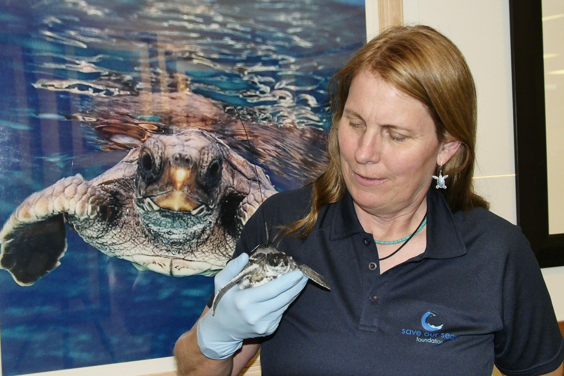 A tagged leatherback sea turtle on deployment day. Photo by J Abernethy   © Save Our Seas Foundation