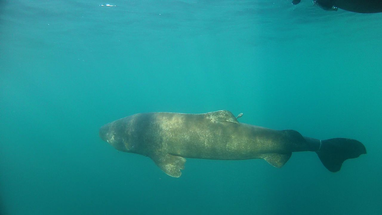 very old and very cold save our seas foundation greenland shark