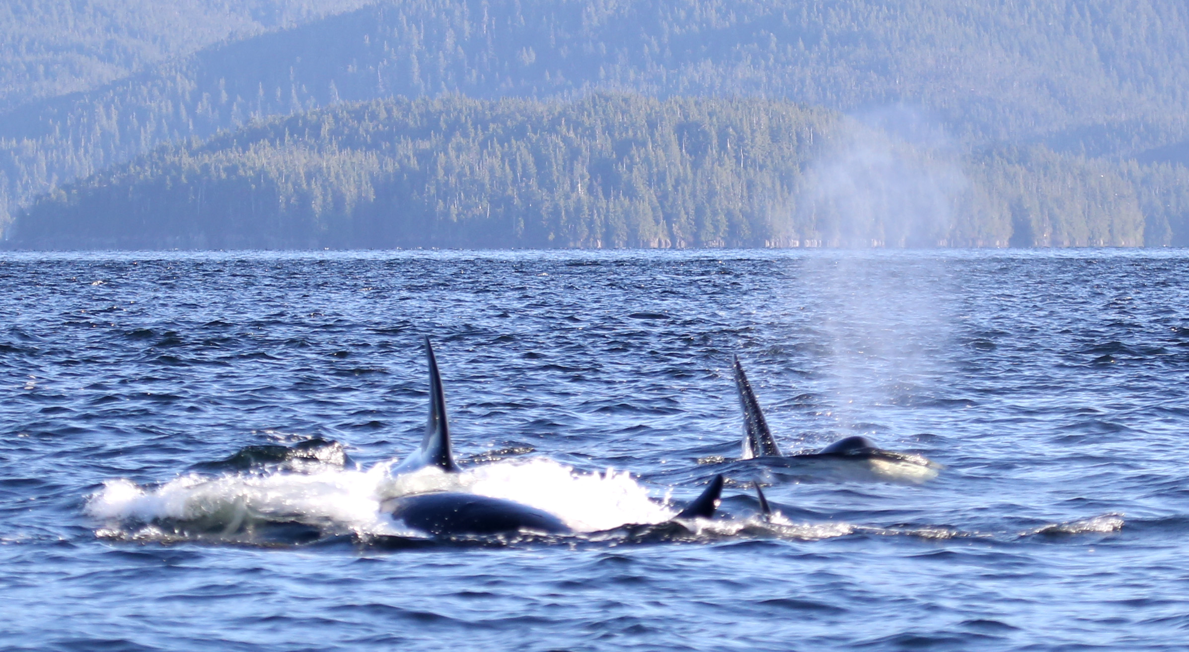 Orcas on the hunt.  Photo: © Janie Wray