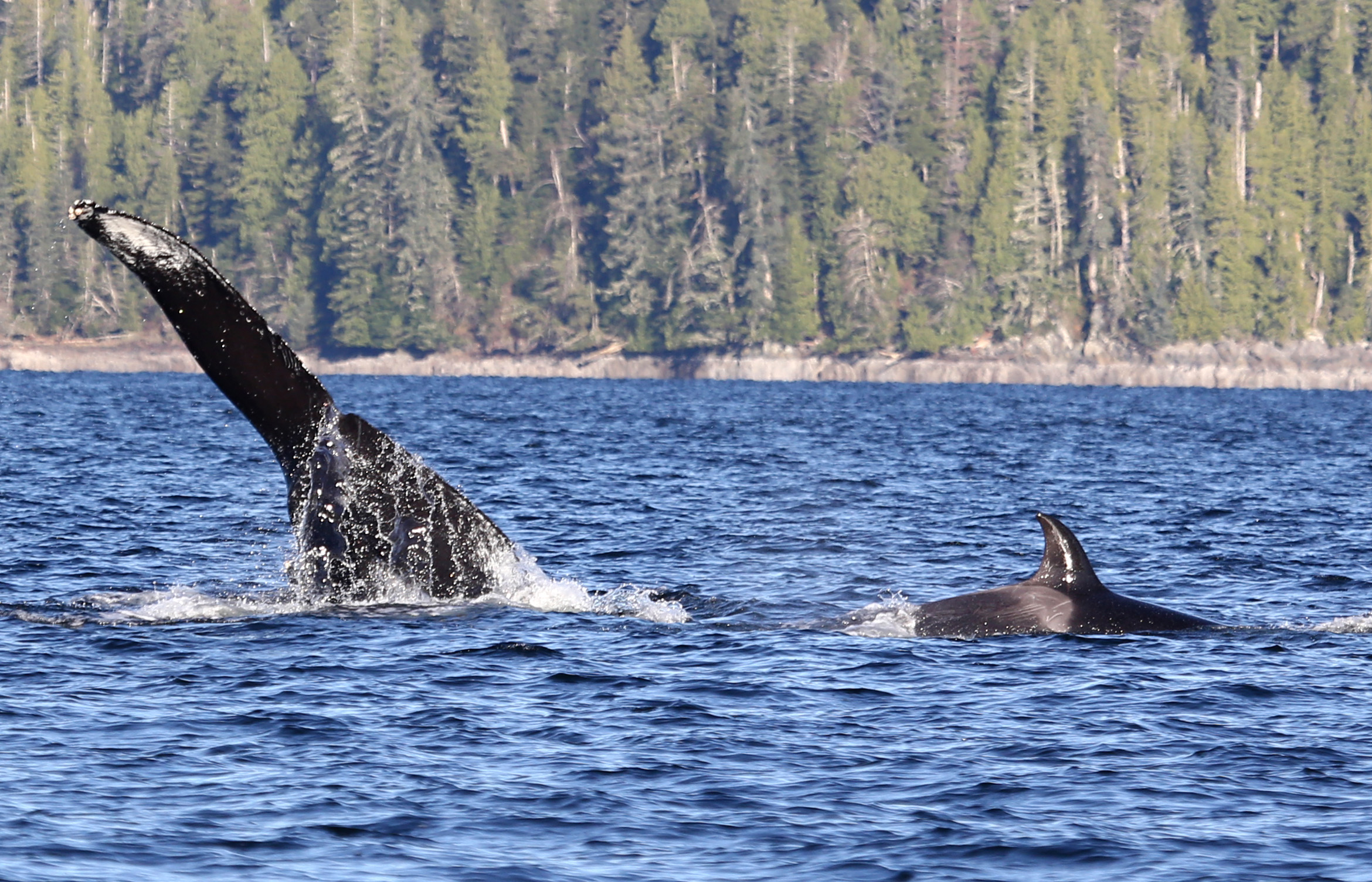 The humpback whale and orca. Photo: © Janie Wray