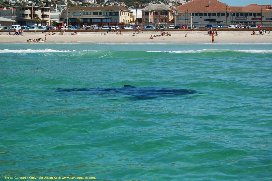 White sharks are regularly sighted in inshore areas of Cape Town. This picture was taken in Fish Hoek in 2006 from a research vessel. (c) Alison Kock