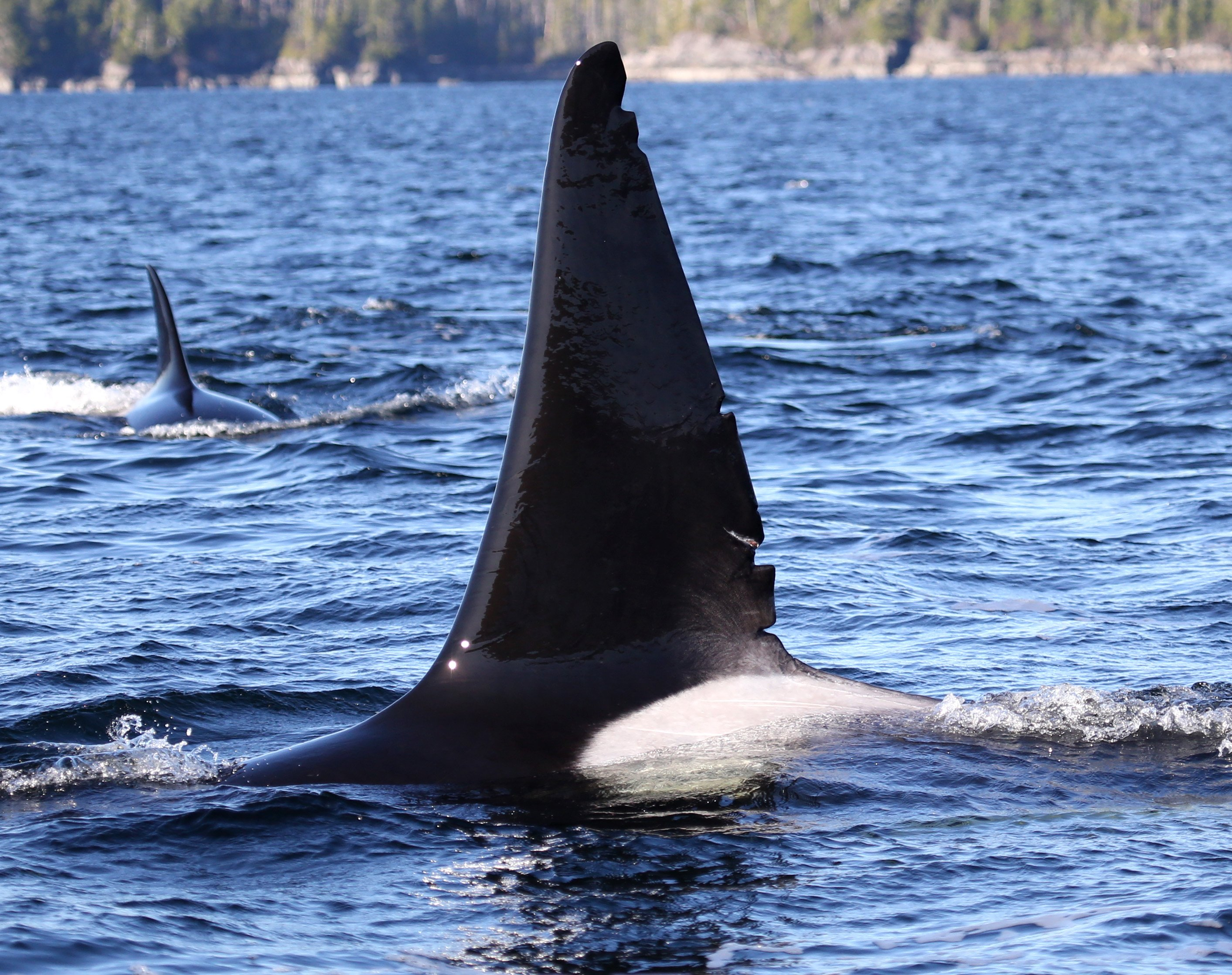 The dorsal fin of the male killer whale. Photo: © Janie Wray