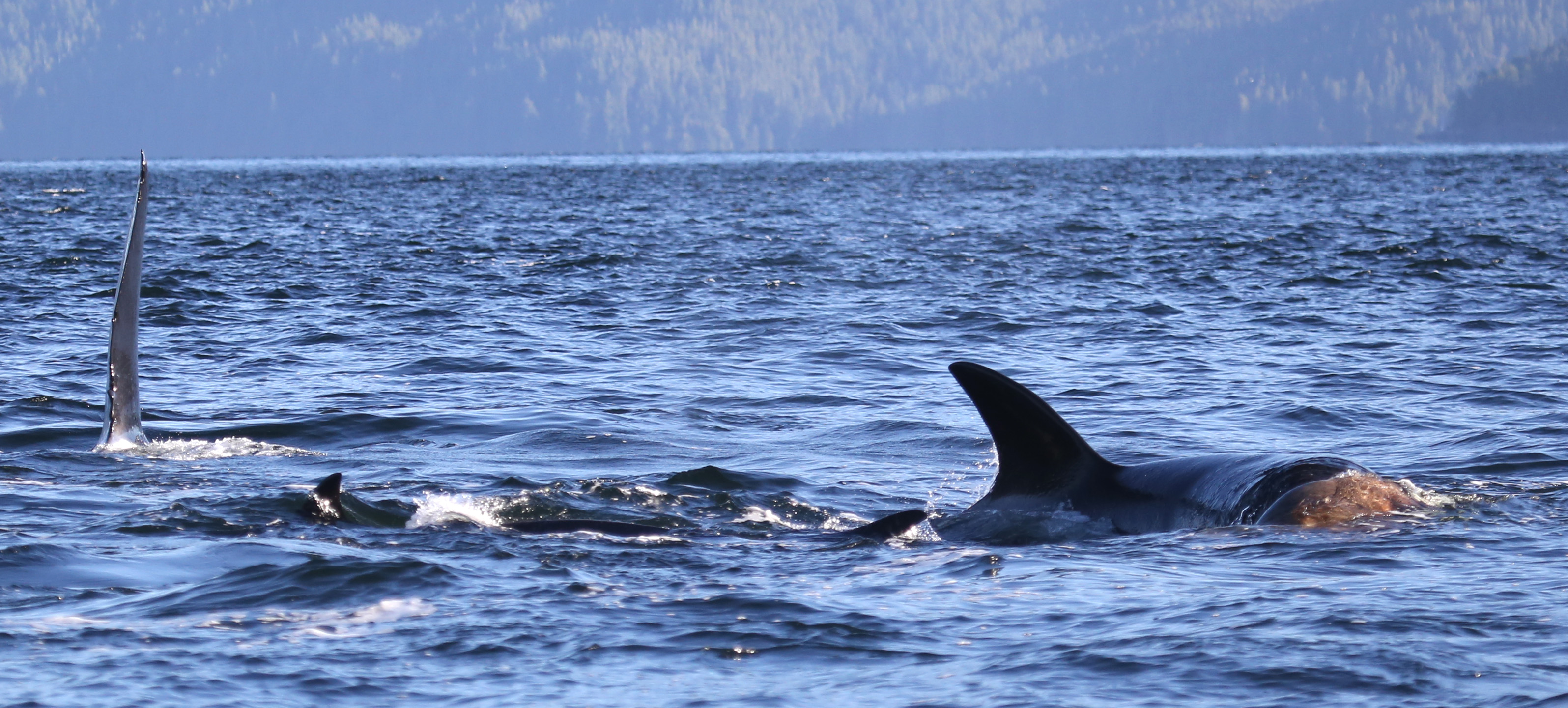 Orcas and sea lion. Photo: © Janie Wray