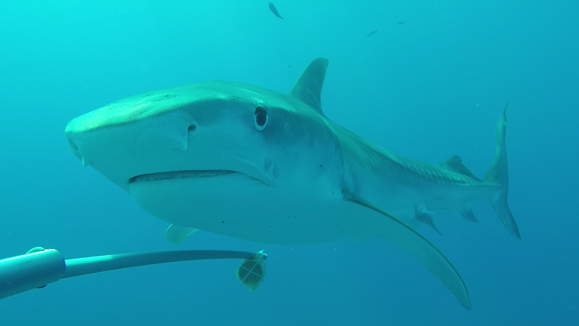 Tiger shark Galeocerdo cuvier. Photo by David Acuña, CDF